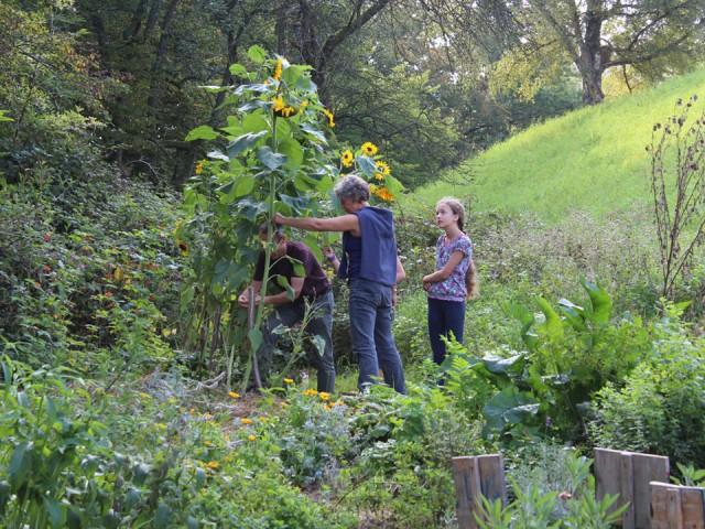 Im kleinen Kräutergarten wachsen auch Sonnenblumen.